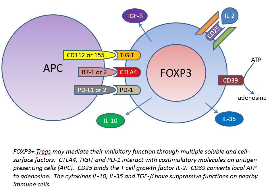 FOXP3+Tregs inhibit inflammation