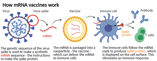 How-Does-an-mRNA-Vaccine-Work-graphic